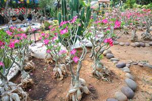 Цветы адениумов с широким розовым краем