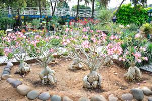 Огромные адениумы с белыми цветами с розовым краем