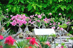 Миниатюрные розовые адениумы