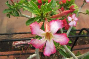 Огромный цветок адениума