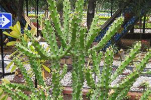 Эуфорбия с толстыми стеблями в цвету