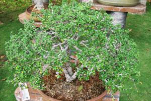 Малпигхия глабра /голая/ (Барбадосская вишня)