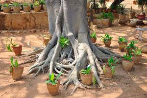 Воздушные корни огромного дерева