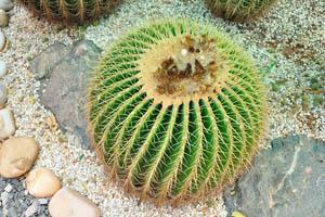 Цветы ферокактуса грузона