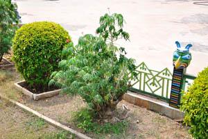 Растение ятрофа в цвету