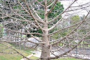 Безлистное дерево правильной формы