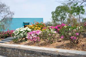 Кусты полностью покрытые цветами