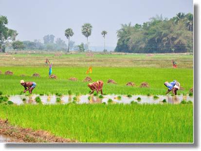 The rice cultivation by the road from Puri to Chilika Lake