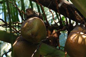 Бурундук между кокосовыми орехами