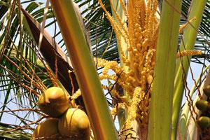 Кокосовые плоды разных возрастов растут на одном и том же дереве