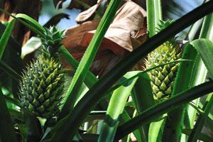Зелёный ананас