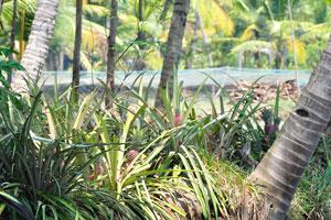Использование земельных участков в штате Керала. Большое количество ананасов