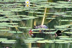 Водная черепаха в озере между лилиями