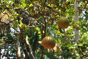 Деревянное яблоко, или возможно Баиль