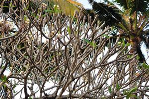 Огромное дерево пахиподиума с цветами