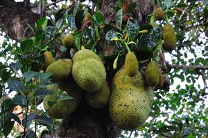 Джекфрутовое дерево (Artocarpus heterophyllus)