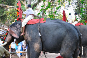 Слоны с большими бивнями