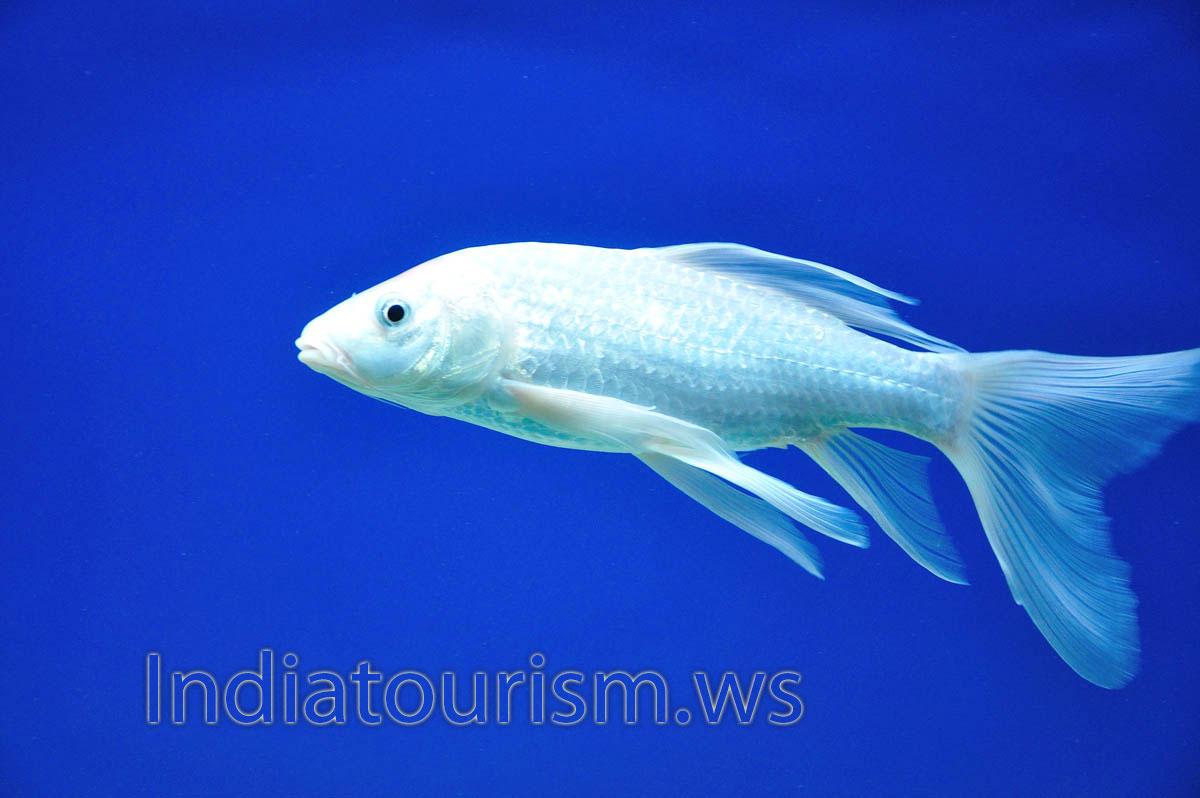 Kerala aquarium fish images aquarium fish images and for Whiting fish picture