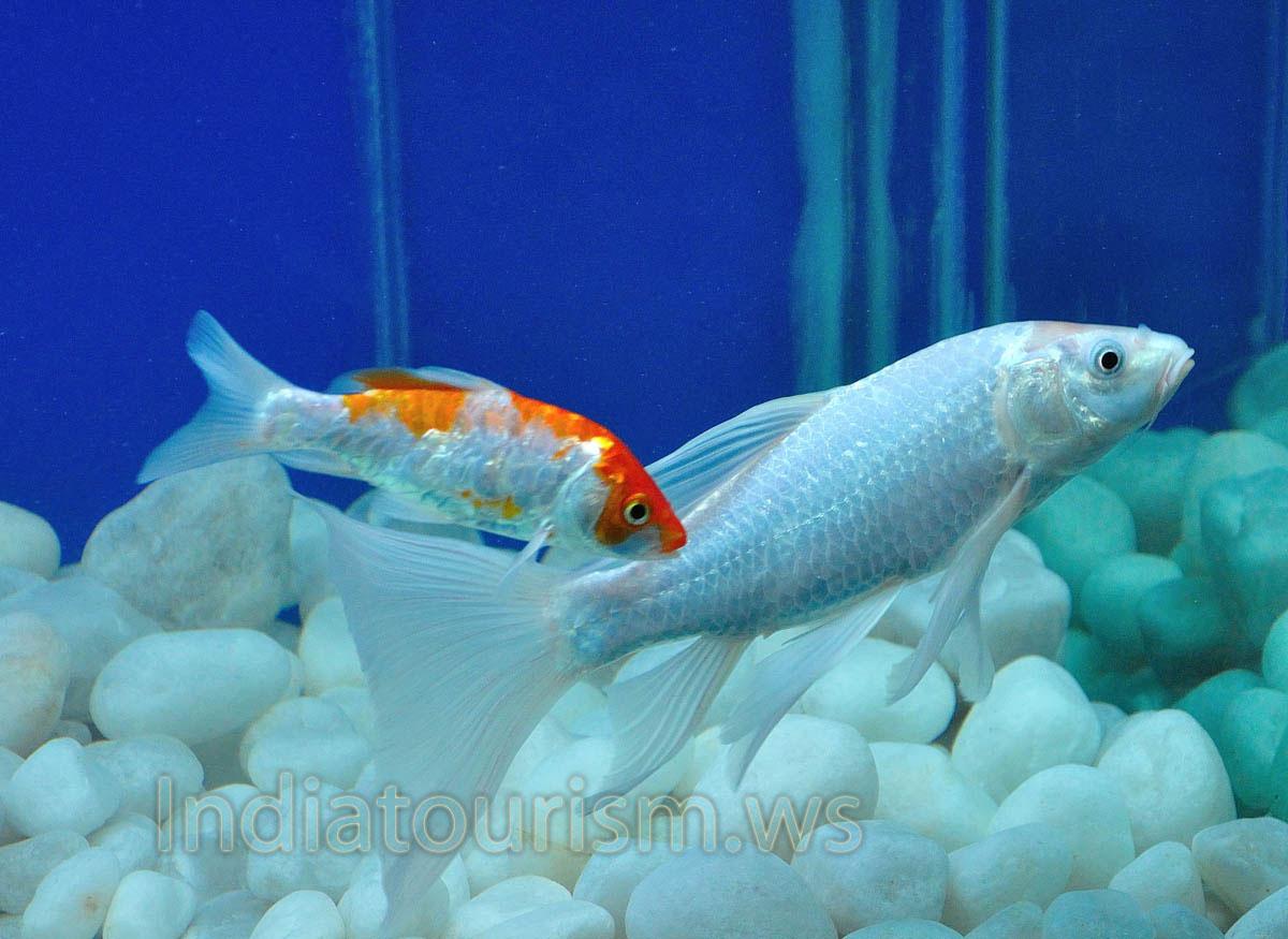 Fish aquarium red spots - Silver Aquarium Fish With Red Spots