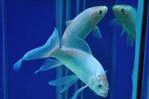 Серебряная аквариумная рыбка