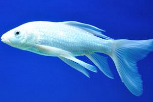 Белая аквариумная рыбка