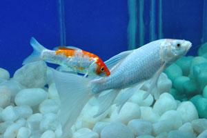 Серебряная аквариумная рыбка с красными пятнами
