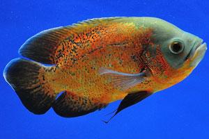 Аквариумная рыбка Оскар