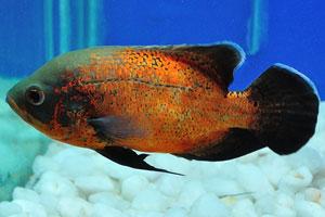 Аквариумная рыбка Оскар с чёрным хвостом