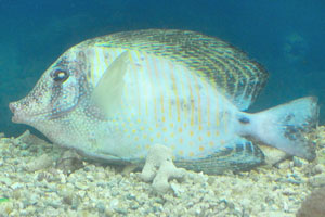 Рыбка Ангел