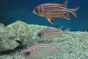 Самурай Рыбка-белка