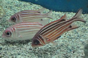Самурай Рыбка-белка будет жадно кормиться на замороженных продуктах, таких как креветка и гребешок