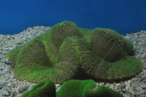 Зелёная седловая ковровая актиния