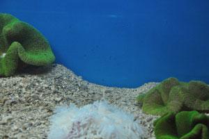 Белая морская анемона