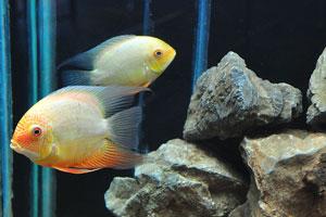Аквариумная рыба с оранжевыми плавниками