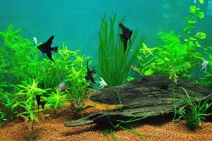 Чёрная аквариумная рыбка выглядит как треугольник
