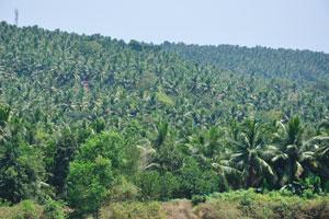 Обилие кокосовых пальм