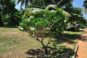 Экзотическое растение пахиподиума с яркими белыми цветами