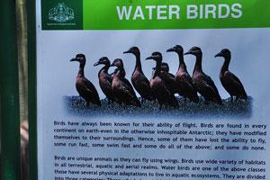 Плакат о водоплавающих птицах