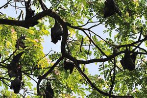 Индийская летучая лисица (Pteropus giganteus). Летучие мыши висят на дереве