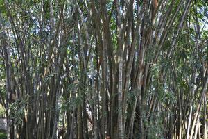 Заросли бамбука