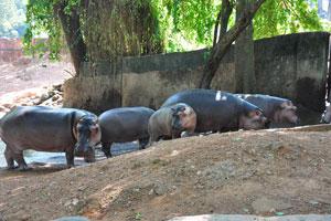 Бегемоты в тени