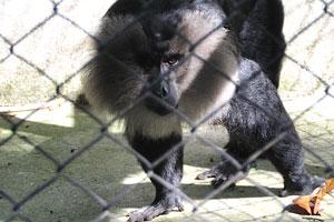Вандеру (Macaca silenus)