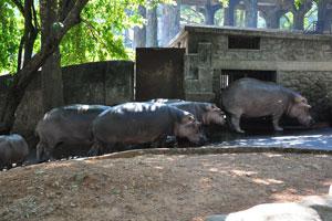 Бегемоты идут к воротам загона