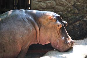 Большая голова бегемота