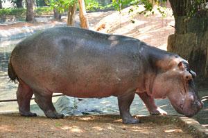 У бегемота короткие ноги