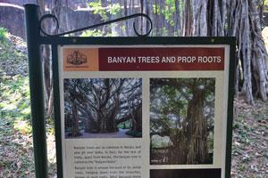 Плакат о деревьях баньян
