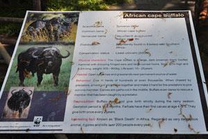 Плакат об африканском буйволе