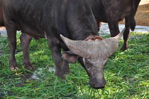 Африканский буйвол имеет самые толстые рога