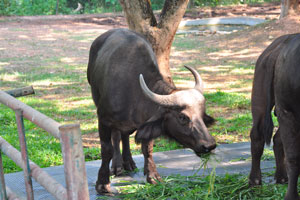 Африканский буйвол жуёт траву