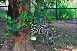 Уникальные полосы зебры делают их среди животных самых узнаваемых для людей